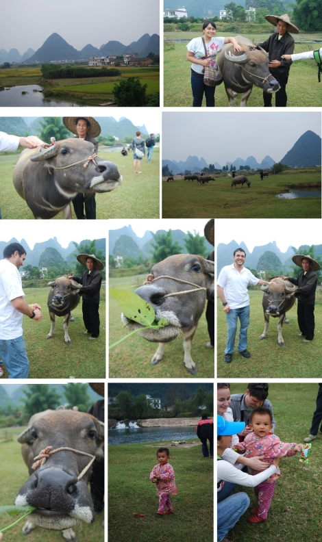 Yangshuo  Water Buffalo